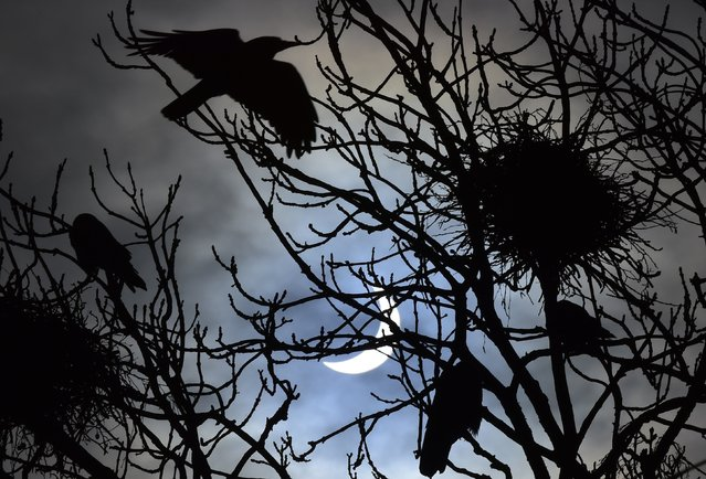 Birds fly and settle on trees in front of a partial solar eclipse, near Bridgwater, in south western England, March 20, 2015. (Photo by Toby Melville/Reuters)