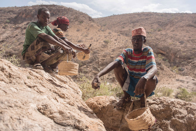 Frankincense tree tappers sit in a canyon with their scrapers and baskets near Gudmo, Somaliland, a breakaway region of Somalia on August 2, 2016. (Photo by Jason Patinkin/AP Photo)