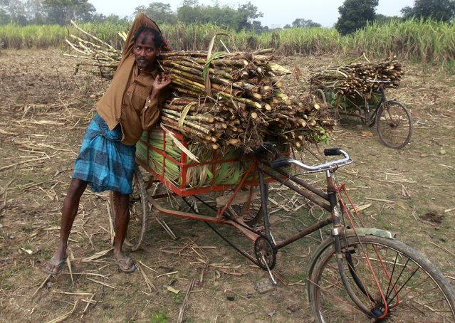 Sankar Bin, 52, a farmer, loads harvested sugarcane into a cycle rickshaw at a sugarcane field in the Khowai village in  Tripura, February 11, 2016. (Photo by Jayanta Dey/Reuters)