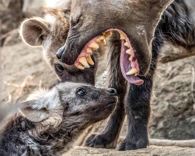 A hyena cub got a mouthful from his mum after it appears he got a right telling off. Michael Raddall, a animal enthusiast and wildlife photographer from South Africa, snapped the mum and cub at the Timbavati game reserve in South Africa while on safari at the Umlani Bush camp. (Photo by Michael Raddall/Caters News Agency)
