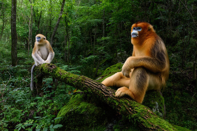 The Qinling golden snubnosed monkey is listed as Endangered by the IUCN as only some 3,800 individuals still exist, shot by Marsel van Oosten in China. (Photo by Marsel van Oosten/Travel Photographer of the Year)