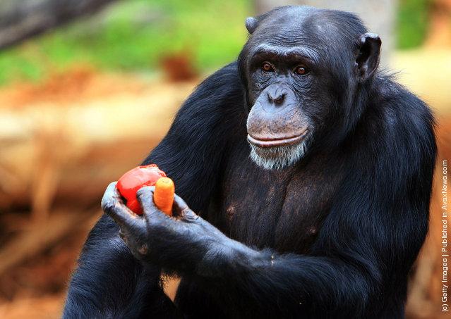 A chimpanzee receives a Christmas treat at Taronga Zoo