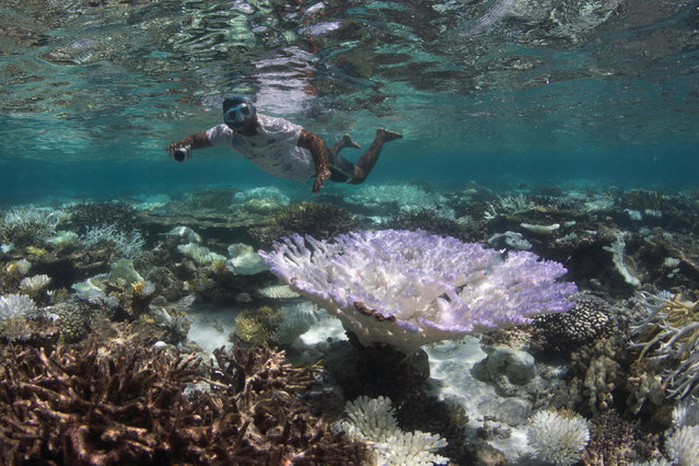 This May 2016 photo provided by the Ocean Agency/XL Catlin Seaview Survey shows a snorkeler surveying the coral bleaching in the Maldives. (Photo by The Ocean Agency/XL Catlin Seaview Survey via AP Photo)
