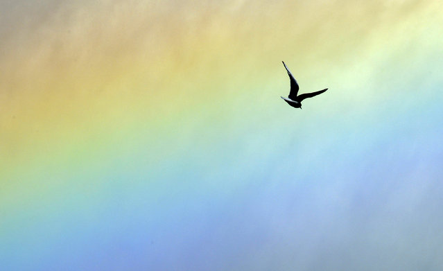 A seagull flies through a rainbow near the Savannah River and the open spillway at Thurmond Dam in Clarks Hill, SC, Monday, January 4, 2016. (Photo by Michael Holahan/Augusta Chronicle via AP Photo)