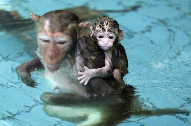 A baby monkey holds on to its mother in a swimming pool to escape the summer heat at Nanwan Monkey Island in Lingshui county, Hainan province, China June 29, 2010. (Photo by Kevin Zhao/Reuters)