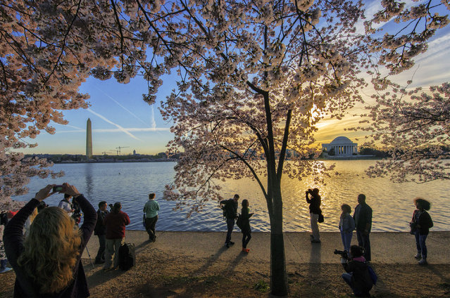 Cherry blossoms at peak bloom around the Tidal Basin on April, 12, 2014 in Washington, DC. (Photo by Bill O'Leary/The Washington Post)