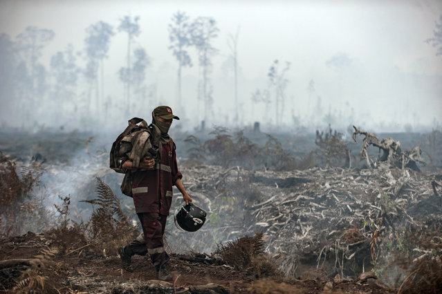 A fire fighter walks on a field as smoke billows from burnt trees at Sebangau National Park, Central Kalimantan, Indonesia, Thursday, September 19, 2019. Indonesia's forest fires are an annual problem that strains relations with neighboring countries. The smoke from the fires has blanketed parts of Indonesia, Singapore, Malaysia and southern Thailand in a noxious haze. (Photo by Fauzy Chaniago/AP Photo)