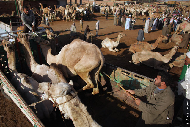 Men buy and sell camels at Birqash camel market in Cairo, Egypt
