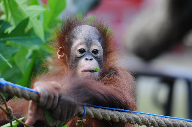 Rizki, 10 months orphaned Bornean orang utan starts learning to bite and eating leaves at Surabaya Zoo as he prepares to be released into the wild on May 19, 2014 in Surabaya, Indonesia. The two baby orangutans, brothers, were found in Kutai National Park in a critical condition having been abandoned by their mother on May 14, 2014. (Photo by Robertus Pudyanto/Getty Images)