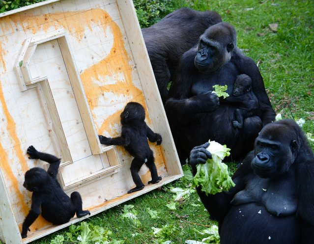 Two Gorilla twin babies curiously explore a birthday gift as they are watched by members of their family horde while 'celebrating' their first birthday in the Burgers' Zoo in Arnhem, The Netherlands, 13 June 2014. The mother has managed to keep her twin offspring alive for a full year, which is said to be the first time ever happening in an European zoo. (Photo by Piroschka Van De Wouw/EPA)