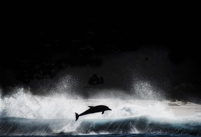 Dolphin diving out of waves. (Photo by Wim van den Heever/Caters News)