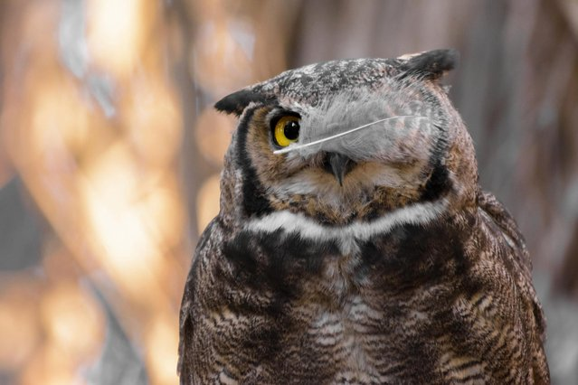 """An owl shows off its eye patch in Andres Vejar's """"Pirate In Disguise"""" taken in Metropolitana, Chile. (Photo by Andres Vejar/CWPA/Barcroft Images)"""