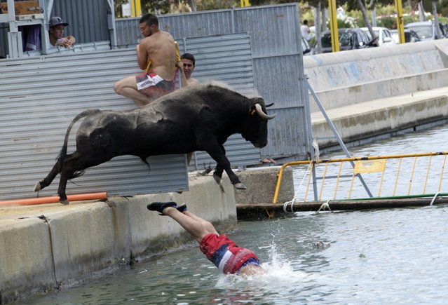 "A bull which is chasing a reveller jumps into the sea during the ""Bous a la Mar"" festival in the eastern Spanish coastal town of Denia July 7, 2014. During this festival, revellers emerging from protective barriers provoke bulls to chase them until they both fall into sea. The bulls are then rescued by small boats which will tow them to safety. (Photo by Heino Kalis/Reuters)"