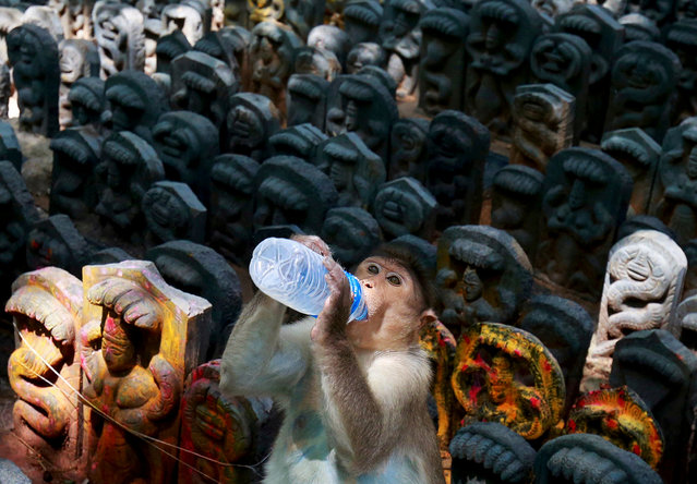 A bonnet macaque sits on consecrated idols of snakes as it drinks milk offered by a devotee during the Hindu festival of Nag Panchami, which is celebrated by worshipping snakes to honour the serpent god, inside a temple on the outskirts of Bengaluru, India, July 27, 2017. (Photo by Abhishek N. Chinnappa/Reuters)