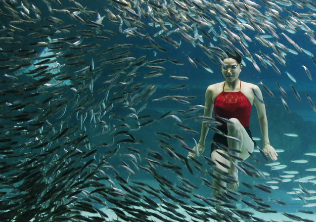 A synchronized swimmer gives an underwater performance with about 20,000 sardines at an aquarium in Seoul's Gangnam Ward, South Korea, 18 August 2015. The performance involving national synchronized swimming team members and professional divers will run until 30 August. (Photo by EPA/Yonhap)