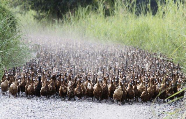 A flock of ducks walk near a paddy field in Nakhonsawan province, north of Bangkok, Thailand on  July 13, 2012