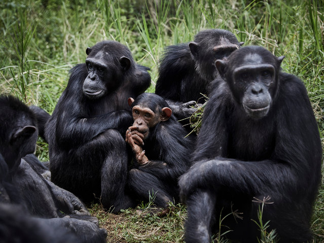A group of chimpanzees is seen at Lwiro Primates centre in Lwiro, South Kivu, the Democratic Republic of the Congo, 06 March 2020. The Democratic Republic of Congo is home to some of the world's most biodiverse locations, however, conflict, poachers and lawlessness are a constant threat to the unique species inhabiting the forests. Conservation authorities have created a safe haven for threatened chimpanzees and several other species of monkey. Orphaned by poaching, saved from the pet or bushmeat trade, rescued primates are often traumatised and medically vulnerable. (Photo by Hugh Kinsella Cunningham/EPA/EFE)