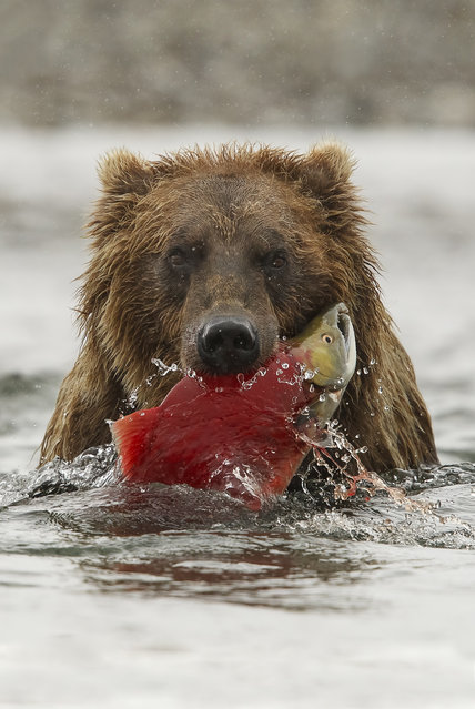 """Brown bear, Alaska"". A brown bear found in Katmai National Park and Preserve in Alaska holds a freshly caught salmon in its mouth. (Photo by Robert J. Amoruso/Smithsonian Wilderness Forever Photo Contest)"