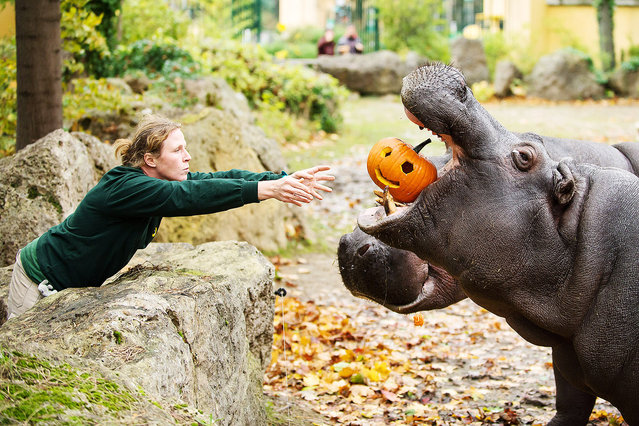Hippos are love for pumpkins. Pumpkin pie might be the order of the day for people this Halloween but now zoo animals are also getting in on the act. Not only is pumpkin served raw or packed with various streets a welcome change in the diet for most zoo animals, but it's also a great way to interest visitors. (Photo by Daniel Zupanc/EuroPics/Schönbrunn Zoo)