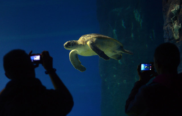 People take pictures of a turtle in newly opened Africarium in Wroclaw zoo, an oceanarium complex presenting various ecosystems connected with water environment of Africa on November 19, 2014. (Photo by Janek Skarzynski/AFP Photo)