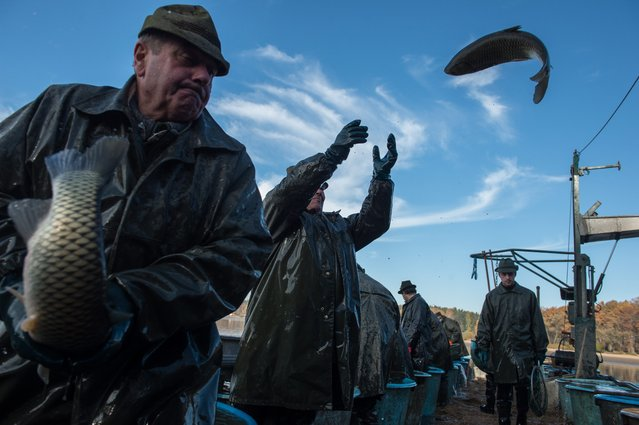 Czech fishermen sort fish during the traditional Carp haul at Lake of Dvoriste near Smrzov village, Czech Republic, 02 November 2015. Carp, the traditional Czech Christmas Eve dinner, is harvested primarly from the region of southern Bohemian lakes. (Photo by Filip Singer/EPA)
