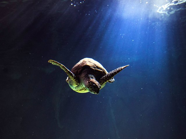 A turtle swims in the aquarium in Madrid, Spain, Thursday, December 11, 2014. (Photo by Andres Kudacki/AP Photo)
