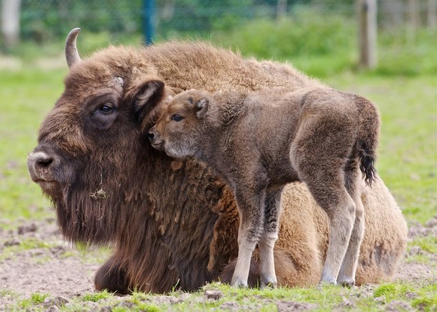 A new arrival at Fota wildlife park, a baby Bison, with mother Donna, May 1, 2013. The park are looking for the public's help to name the recently born male. The calf born on Saturday is the latest Bison born in the park, which has included 3 calves that returned to the wild in Poland in 1998. (Photo by Neil Danton)