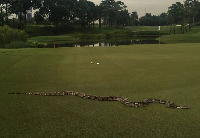This handout photo received from the PGA Tour and taken on October 21, 2016 shows a python crossing the 5th green before the second round of 2016 CIMB Classic golf tournament in Kuala Lumpur. (Photo by AFP Photo/Stringer)