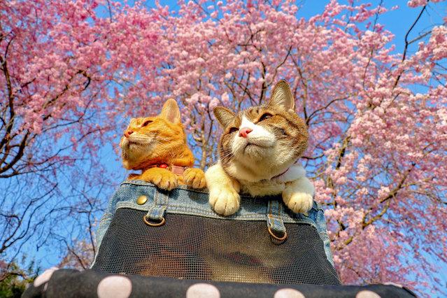 Daisuke Nagasawa travels nationally and internationally with his beautiful kitties Fuku-Chan and Daikichi. The two pose under the iconic Japanese cherry blossoms. (Photo by Daisuke Nagasawa/Caters News Agency)