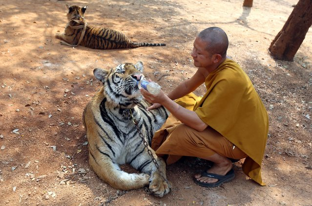 A Thai Buddhist monk feeds water to a tiger at the Tiger Temple, in Saiyok district in Kanchanaburi province, west of Bangkok, Thursday, February 12, 2015. Wildlife protection officials said on Thursday they found no mistreatment of the more than 100 tigers at the temple, one of the country's most popular destinations for foreign tourists. (Photo by Sakchai Lalit/AP Photo)