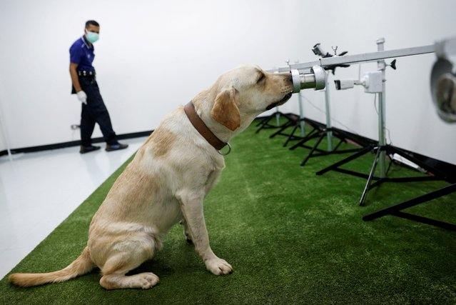A dog that has been trained to sniff out the coronavirus disease (COVID-19), screens a sweat sample at Chulalongkorn University, in Bangkok, Thailand on May 21, 2021. (Photo by Jorge Silva/Reuters)