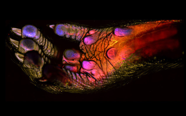 Honorable Mention: This 100X image of an adult mouse foot showing blood vessels, immune cells and soft tissues, by Dr. Andrew J. Woolley, Himanshi Desai and Kevin Otto, Purdue University, Indiana. (Photo by Dr. Andrew J. Woolley, Himanshi Desai and Kevin Otto)
