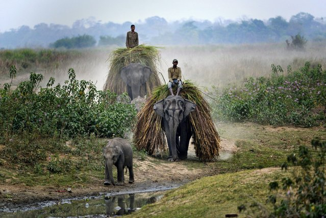 Mahouts return home with their elephants carrying grass to feed them on the eve of the rhino census in Kaziranga National Park in Assam state, India, 24 March 2015. Kaziranga will be closed to visitors for the next two days for a census of the rhinos commencing 25 March, in a previous census in 2013 in the park the population of the Indian rhinos was 2329. (Photo by EPA/Stringer)