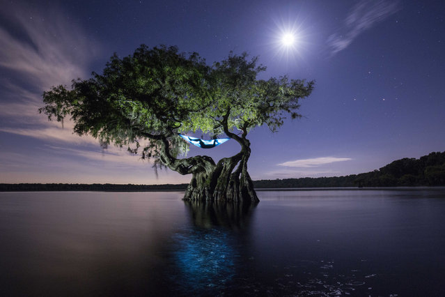A lone hammock nestle between the bent branches of a tree in the centre of a lake in Florida, USA, 14 August 2016. A photographer is cutting back on luggage by using a unique tent replacement – a homey hammock. After losing patience with lugging heavy tents and ground sheets around America, wildlife and conservation photographer Mac Stone, 32, traded it all in for his trusty one pound hammock. While most people only use a hammock for a lazy nap underneath their favourite garden tree, or to sunbathe on a beach, Stone loves the spontaneity of carrying his own hotel room wherever he goes. (Photo by Mac Stone/Barcroft Images)