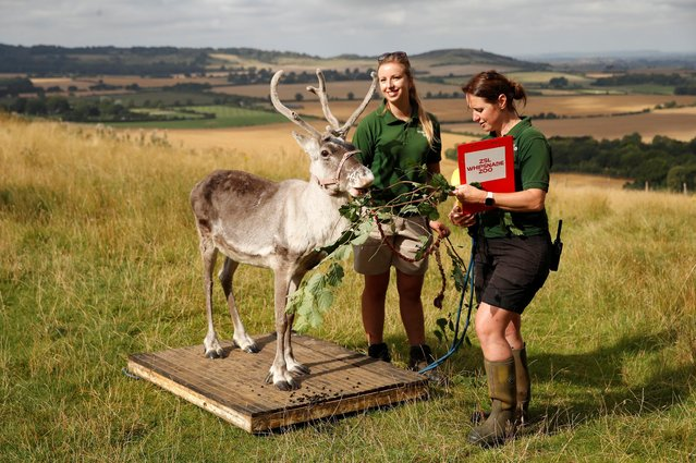 Zoo keeper encourages a Reindeer to stand on weighing scales at ZSL Whipsnade Zoo 2021 weigh-in and measurement, in Dunstable, Britain, August 24, 2021. (Photo by Matthew Childs/Reuters)