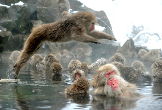 "Japanese macaque monkeys, known as ""snow monkeys"", take an open-air hot spring bath as snowflakes fall at the Jigokudani (death valley) Monkey Park in the town of Yamanouchi, Nagano prefecture on January 19, 2014. Some 160 of the monkeys inhabit the area and are a popular tourist draw. (Photo by Toshifumi Kitamura/AFP Photo)"