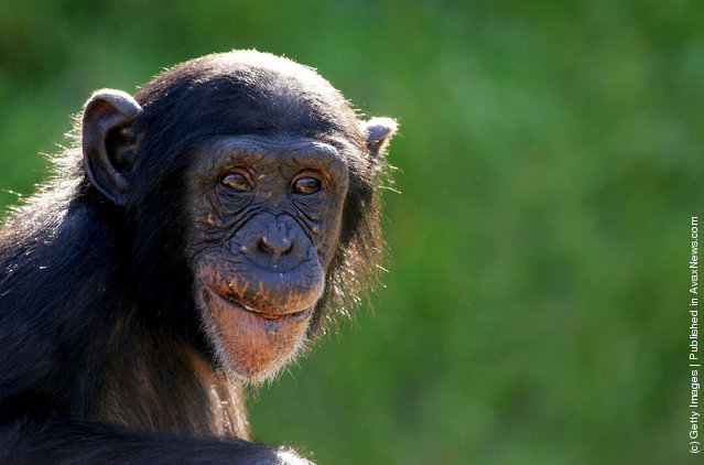 A young chimpanzee watches the media covering the welcome of a new female baby chimpanzee to Sydney's Taronga Zoo