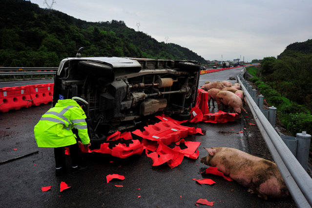 A traffic policeman examines the site of a truck transporting pigs that overturned on a highway in Jinhua, Zhejiang Province, China, April 21, 2016. (Photo by Jiang Hao/Reuters)
