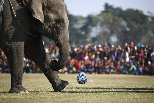 An elephant runs to kick a ball while playing in a soccer match during an Elephant Festival event at Sauraha in Chitwan, Nepal December 30, 2014. (Photo by Navesh Chitrakar/Reuters)