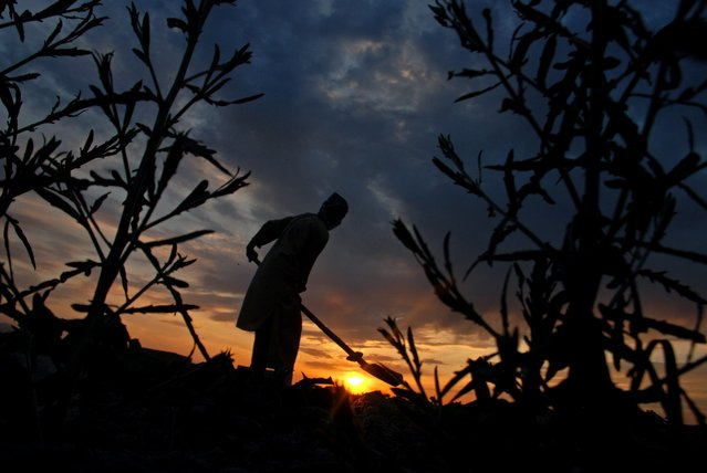 An Afghan farmer works on his field at sunset on the outskirts of Mazar-e-Sharif, northern Afghanistan, Tuesday, April 22, 2014. (Photo by Mustafa Najafizada/AP Photo)