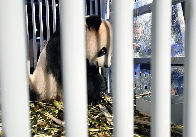 One of two giant pandas, female Wu Wen and male Xing Ya, is placed on display after arriving at Schiphol Airport in the Netherlands after a special flight from China Wednesday, April 12, 2017. The pair of three-and-half year old giant pandas are being taken from Schiphol Airport to the Ouwehands Zoo in the central Dutch town of Rhenen where they will settle into a purpose-built enclosure for a 15-year stay as part of a nature conservation project. (Photo by Patrick Post/AP Photo)