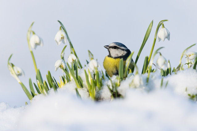 British seasons category winner. Seasonal Blue Tit (Blue Tit) series by Paul Sawer from Orford, Suffolk. (Photo by Paul Sawer/British Wildlife Photography Awards/PA Wire Press Association)