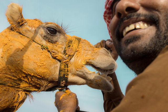 """""""Camel Race Winner"""". A race-winning camel at Al Wathba Track in Abu Dhabi is having its head covered of safran as a sign of honor. The trainer of the camel is trying to keep the animal calm. Photo location: Al Wathba Camel Track, Abu Dhabi, UAE. (Photo and caption by Christophe Viseux/National Geographic Photo Contest)"""