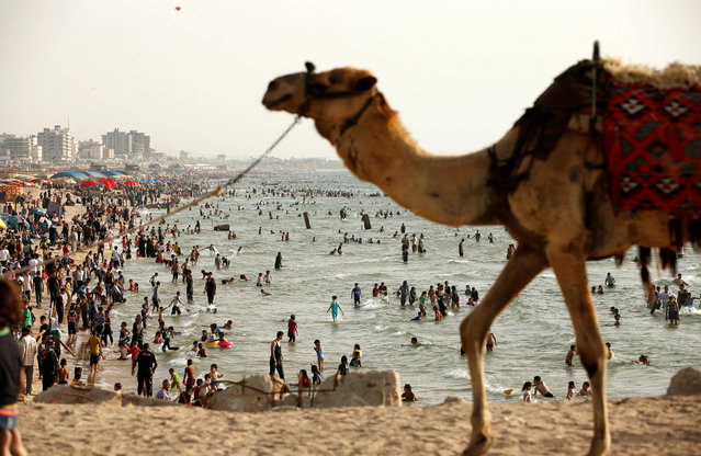 A camel walks on a beach as Palestinians enjoy their weekend in the Mediterranean Sea off the coast of Gaza City, June 3, 2016. (Photo by Mohammed Salem/Reuters)