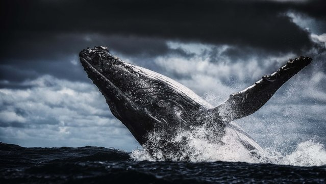Humpback whale with head out of water. (Photo by Wim van den Heever/Caters News)
