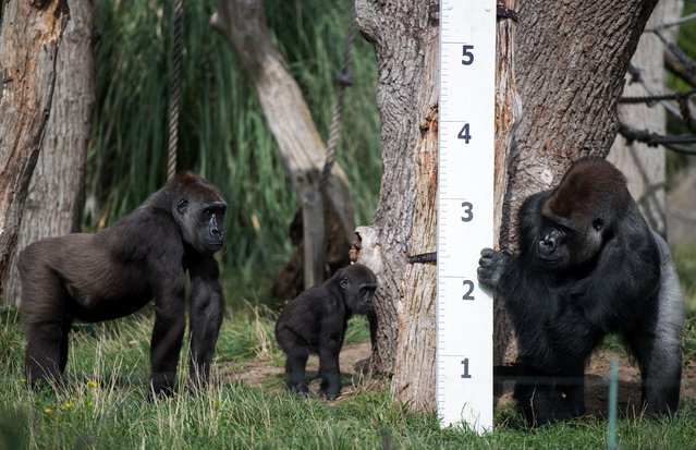 """Silverback Kumbuka (L), Gorilla """"Mjukuu"""" and her baby """"Alika"""" check out a measuring device in an enclosure during a photocall at London Zoo on August 24, 2017, to promote the zoo's annual weigh-in event. (Photo by Chris J. Ratcliffe/AFP Photo)"""