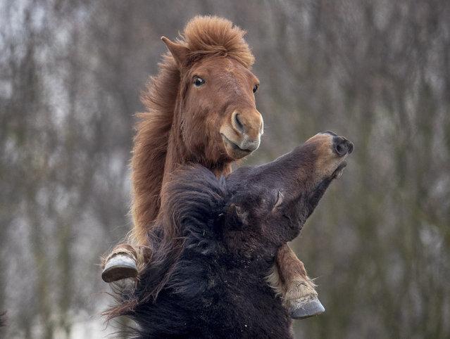 Icelandic stallions play at a stud farm in Wehrheim near Frankfurt, Germany, Wednesday, March 18, 2020. (Photo by Michael Probst/AP Photo)