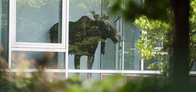 A young  moose stands behind a window in an administration building of Siemens in Dresden, Germany Monday August 25, 2014. (Photo by Arno Burgi/AP Photo/DPA)