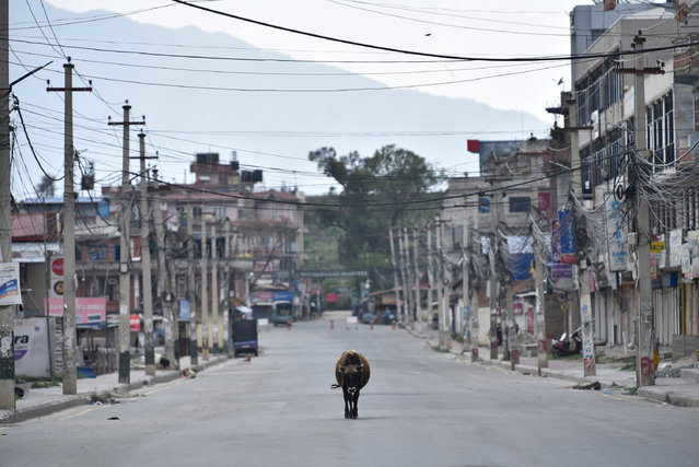 A Cow walking in the empty highway road during complete nation lockdown in Bhaktapur, Nepal on Sunday, April 19, 2020. (Photo by Narayan Maharjan/NurPhoto via Getty Images)
