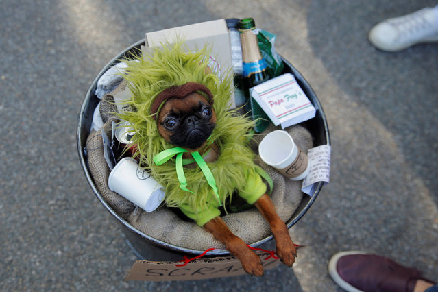 A dog dressed as Oscar the Grouch takes part in the annual halloween dog parade at Manhattan's Tompkins Square Park in New York, NY, U.S. on October 21, 2017. (Photo by Lucas Jackson/Reuters)